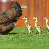 Huhn als Entenmutter