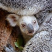 Zoo sucht Namen für Koala-Baby