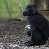 Affe  adoptiert Küken