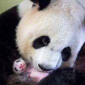 Putziger Bambusbärennachwuchs