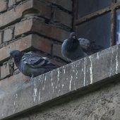 Tauben bringen nicht nur Briefe