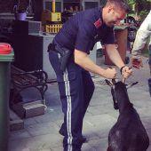 Polizei packt entlaufene Ziegen bei den Hörnern