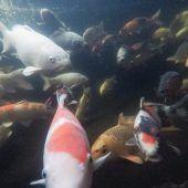 Ein Fisch zum Streicheln, Herzen und Bewundern