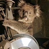 Koala fährt im Radkasten mit