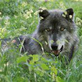 Österreicher sehen  Rückkehr der Wölfe positiv