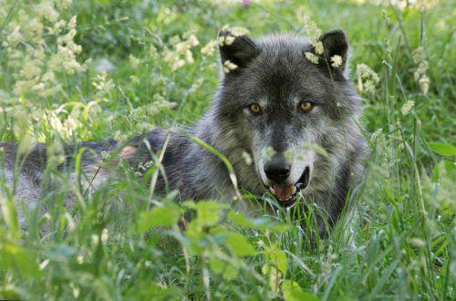 Die im Gehege aufgewachsenen Wölfe zeigen wenig Scheu vor Menschen. AFP