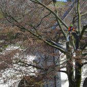 Rotbuche am Kirchenpark gefällt