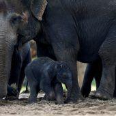 Elefant lernt gehen