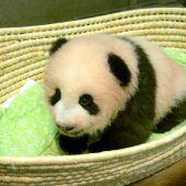 Panda heißt Shan Shan