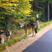 Drei ausgebüxte Wölfe sind noch unterwegs