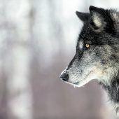 Massaker an Schafen durch Wölfe