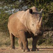 Wilderer haben 2017 in Südafrika über 1000 Nashörner getötet