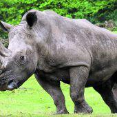 Leihmütter sollen Nashörner retten