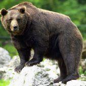 Besuch von Jungbären aus Trentino in Vorarlberg ist wahrscheinlich A10