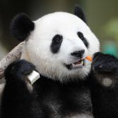 Leckeres für den Panda
