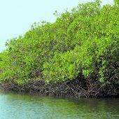 Mangrovenwälder schrumpfen