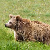 Yeti ist ein Bär