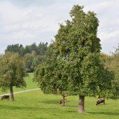 Stadt will hohe Bäume fördern