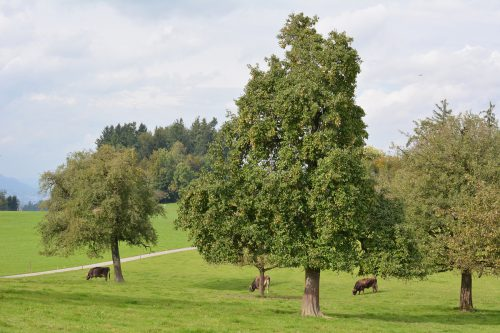 Stadt und OGV wollen den Baumbestand erhalten. Stadt