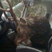 Hirsch landet bei Wildunfall auf dem Fahrersitz