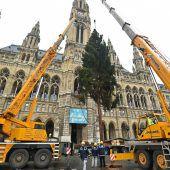 Ein Vorarlberger Baum schmückt den Wiener Rathausplatz
