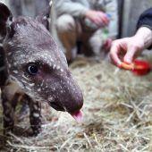 Zoo will mit Zucht Tapire retten