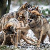 Gegen Wölfe können wir nichts machen
