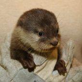 Niedliche Otterbabys