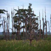 Geisterwälder zeugen vom Klimawandel