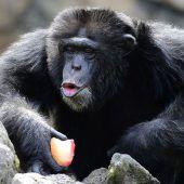 Schimpansen erkennen und füllen Wissenslücken bei Artgenossen