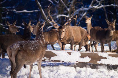 Nach Ansicht des Waldvereins sind großangelegte Wildfütterungen ein Fehler. dpa
