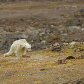 Video von hungerndem Eisbären schockiert das Netz