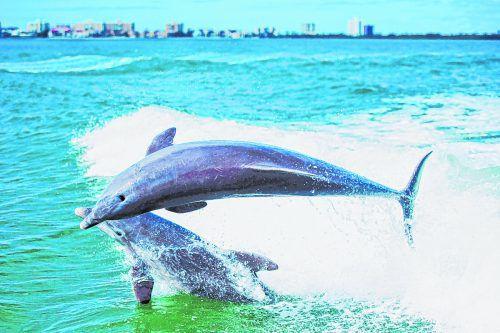 Die Delfine lieben es, auf den Wellen der Boote zu surfen. loren bedeli