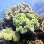Korallen im Great Barrier Reef transplantiert