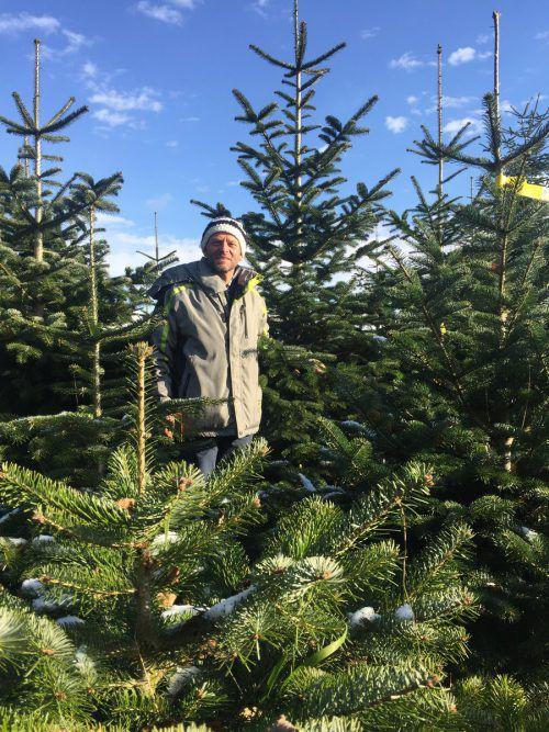 Erwin Bauer startet eine Woche vor Weihnachten mit dem Schneiden der Christbäume.VN/MEF