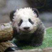 Name für Pandababy