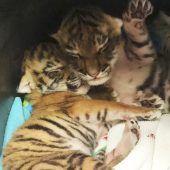 Kleine, müde Tiger