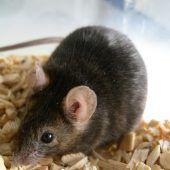Mäuse passen Stimme dem Gesprächspartner an