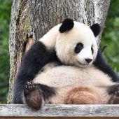 Rätsel um Pandadame gelöst