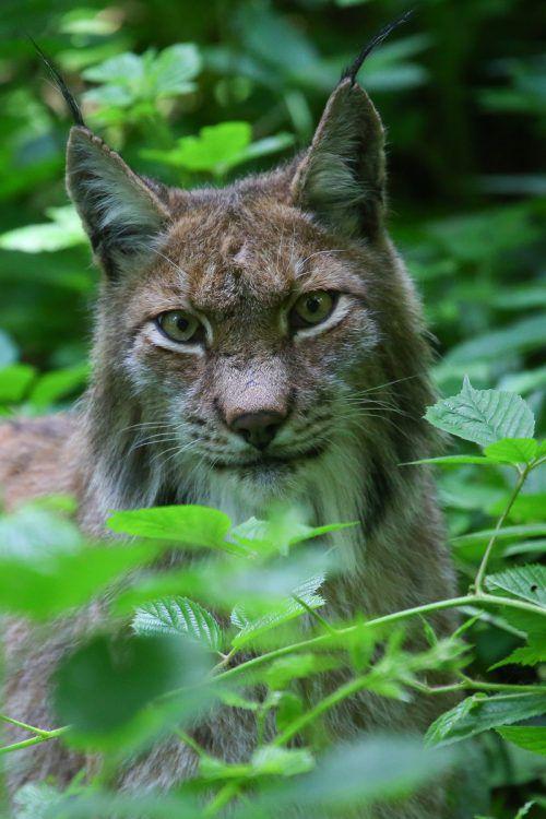 Nicht nur im Wildpark gehen Großkatzen um. Erstmals seit 100 Jahren streifen wieder Jungluchse durch Vorarlberg. VN/HB