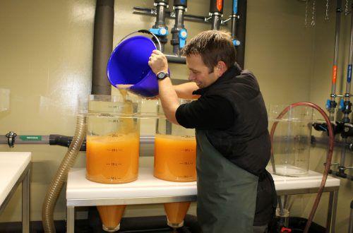 Sorgfältig füllt Betriebsleiter Jörg Schweizer Felchenlaich in die Zugergläser in Steinach. 25 Liter Laich bedeuten 1,5 Millionen Eier. g. grabher