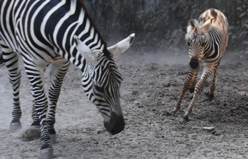 A twelve-day old zebra calf stands with his mother at a special enclosure before releasing for public viewing at the Alipore Zoological Garden in the Indian city of Kolkata on January 28, 2018. / AFP PHOTO / Dibyangshu SARKAR