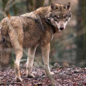 Absoluter Schutz für Wölfe soll fallen