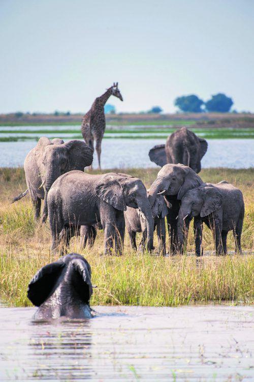 Elefanten nehmen ein ausgiebiges Bad im Chobe. Die Giraffen leisten ihnen dabei Gesellschaft. Beate rhomberg (5)