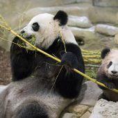 Kleiner Pandajunge