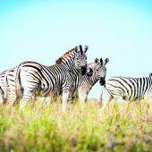 Die große Wanderung der Zebras