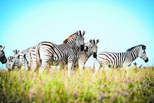 Hunderte Zebras halten sich von Juni bis November in der Salzpfanne auf.