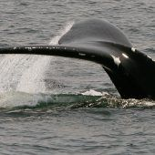 Glattwale vor Ausrottung