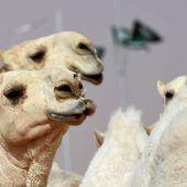 Kamele wegen Botox disqualifiziert