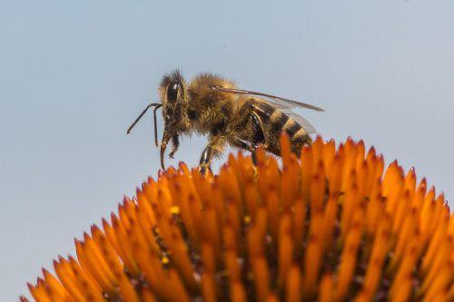Der Bienenzuchtverein Hohenems lädt am Sonntag ein.VN/Steurer